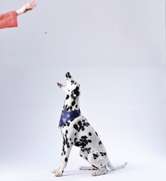 Dalmatian-Training